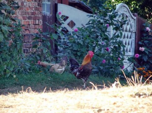 Kogut i kura pilnują zagrody w Dankowicach